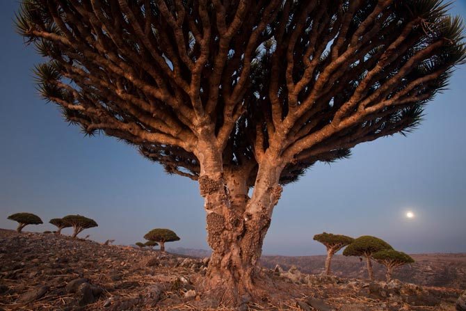 02-dragons-blood-tree-diksam-plateau-670