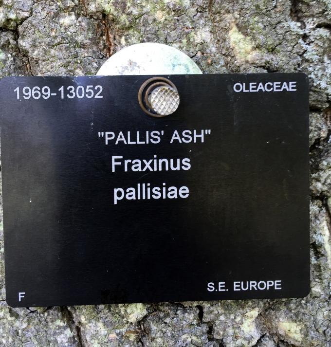 Fraxinus.JPG