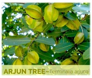 Arjun Tree Image