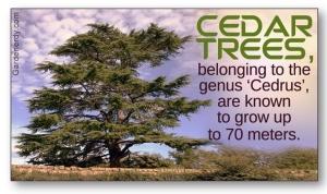 Cedar Tree Image